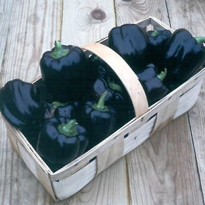 Purple Beauty Pepper Seeds- Heirloom- 50+ 2017 Seeds    $1.69 Max Shipping/order