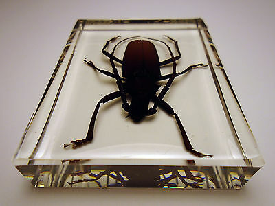 MACROTOMA FISHERI. Real cerambycidae beetle insect. Clear resin encapsulation
