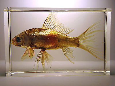 Real GOLDFISH ( CARASSIUS AURATUS ) Cyprinidae Carp family. Embedded in resin