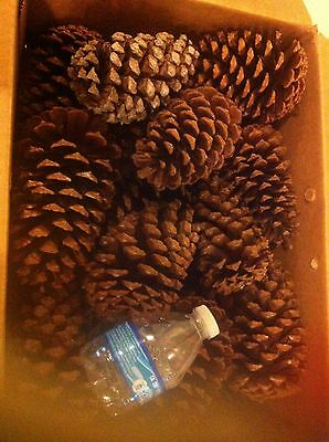 "20 pcs 3-4"" Pine cones for art and craft"