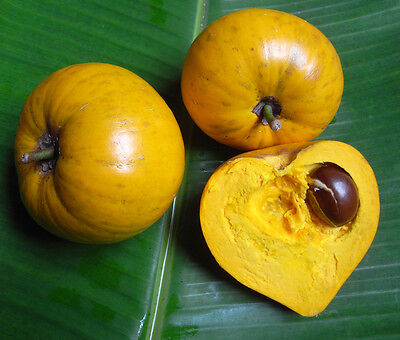 Eggfruit-canistel-Pouteria campechiana (3) three finest seeds rare fruit