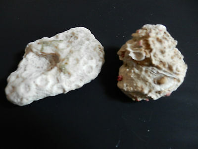 Encrusted shell with piece of ancient fused coral