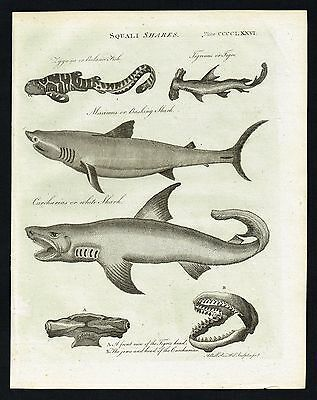 SHARKS, WHITE, BASKING, JAWS ANATOMY - 1797 Original Antique Engraving, Scarce