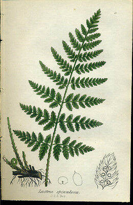 Beautiful SOWERBY Antique Print Botanical Lastrea spinulosa FERN 1855 - H/C