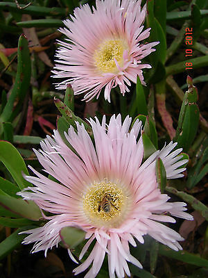 Giant Pigface, Drought Hardy succulent groundcover, pink flowers, 1 plant