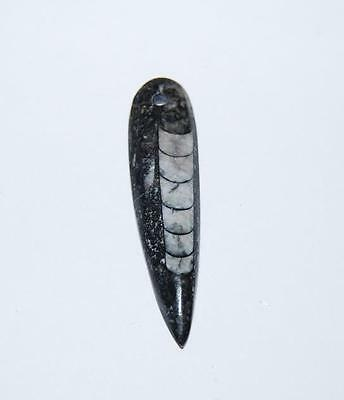 ORTHOCERAS Squid Fossil Pendant for Necklace Jewelry 400 Million Yr Old #1860 2o