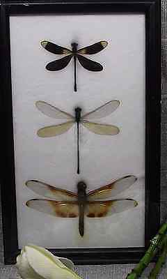 Real 3 Dragonfly In Framed Butterfly Butterflies Insect Taxidermy Gift