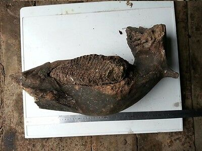 a fragment of a jaw. woolly mammoth.