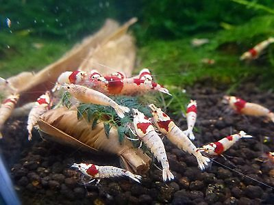 10x Crystal Red Bee Shrimp