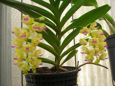 Orchid Aerides Houlettiana