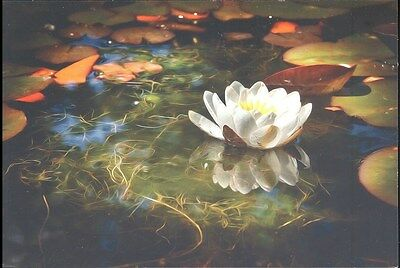Postcard - Magnificent View Of A Waterlily - Unposted - Photo By Bill Abernethy
