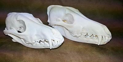 2 Coyote Skulls - Proff Cleaned by Taxidermist - Beetled, Degreased & Whitened
