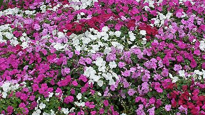 100+ Impatiens Seeds- Walleriana- Dwarf Mixed- 2017 Seeds  $1.69 Shipping/order