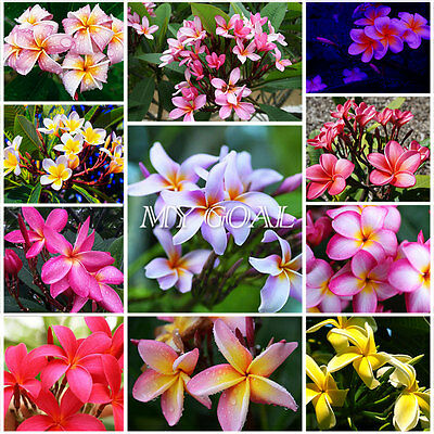 30Pcs Thailand Plumeria Flower Plants Garden Bonsai Bulbs Seeds Decor Colours