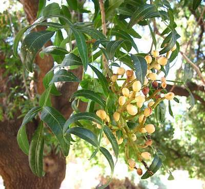 Pistacia Atlantica, Pistachios Pistache Tree NATURAL EDIBLE Fresh Seeds