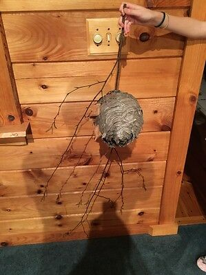 Medium Paper Wasp Hornets Nest Beehive Bee Hive Taxidermy Pa
