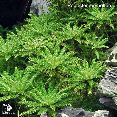 Pogostemon helferi Live Aquarium Plant Shrimp Safe Co2 Scape Tank Aquascaping EU