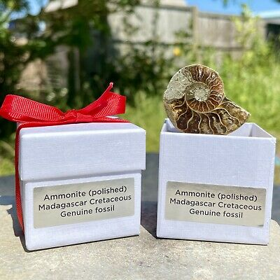 Silvergeo® Gift Box Ammonite Fossil from Madagascar - Cretaceous Period - FS9507