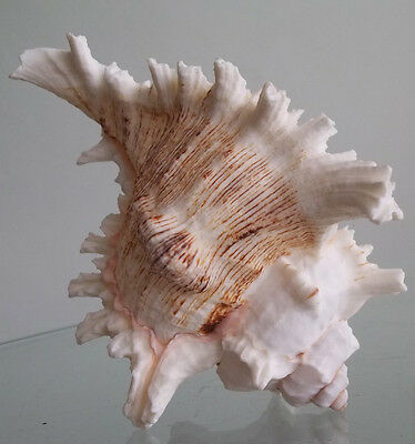 Large Murex Shell Beach Cottage Hermit Crab Seashell