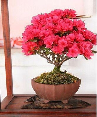 Bonsai potted plant red crape myrtle tree seeds flower seed