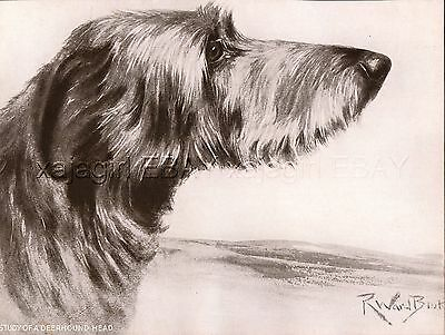 DOG Scottish Deerhound Portrait, Beautiful 1930s Art Print