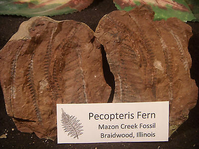 Mazon Creek Fossil MULTIPLE Pecopteris Fern Braidwood, IL Brown Color Awesome