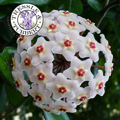 Rare Hoya carnosa,  perennial flower - 5 seeds - UK SELLER