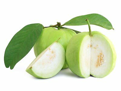 white indian guava fruit tree 1x35cm tall plant