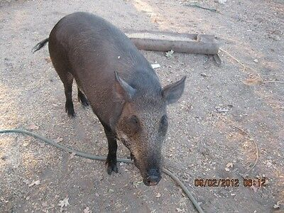 BORNEO PIG deer TRAP STICK TUNTUM MOTHER AND CHILD WOODEN SCULPTURE IBAN