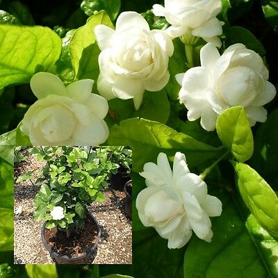 "Jasmine Flower Plant Rooted ""Mali Son"" Fragrant Flowers Plant From Thai 4"" Pot"