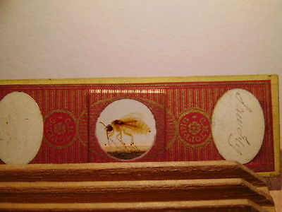 ANTIQUE VICTORIAN c1860 MICROSCOPE SLIDE TOPPING SAW FLY SUPERB EXAMPLE
