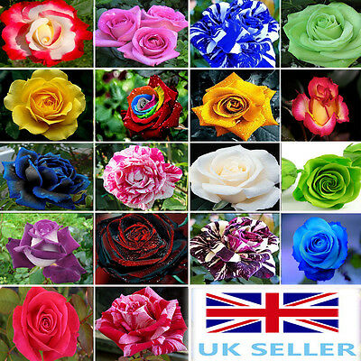 25x Rare Multi-Colors Rainbow Rose Flower Seeds Garden Plant, Other Colors