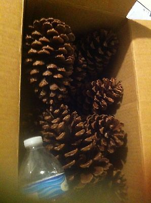 """10 pcs 3-4"""" Pine cones for art and craft"""
