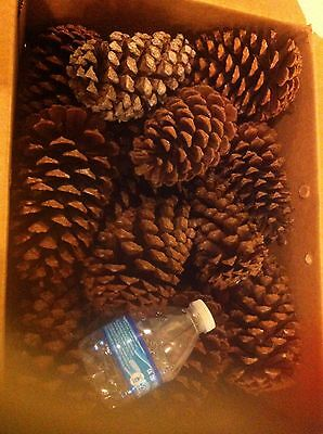 """20 pcs 3-4"""" Pine cones for art and craft"""