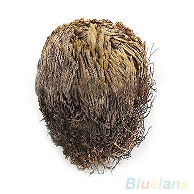 Live Resurrection Plant Rose Of Jericho Dinosaur Air Fern Spike Moss Dulcet