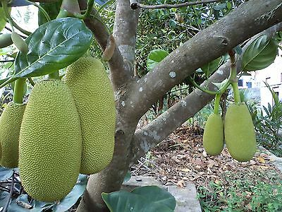 "World Largest Tree Fruit-Sri Lankan ""18 months"" Jackfruit Fresh 5 Finest seeds."