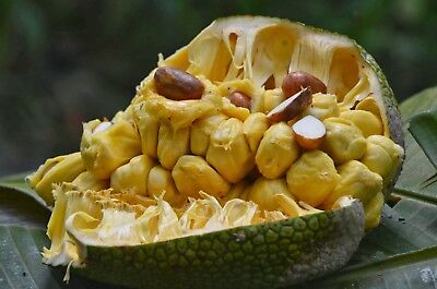 World Largest Tree Fruit-varikka/Wela Jackfruit Fresh 5 Finest seeds
