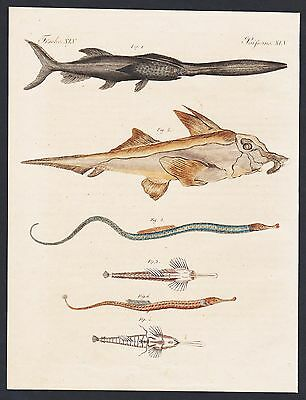 1800 - Broadnosed pipefish fish fishes Fische engraving antique print Bertuch