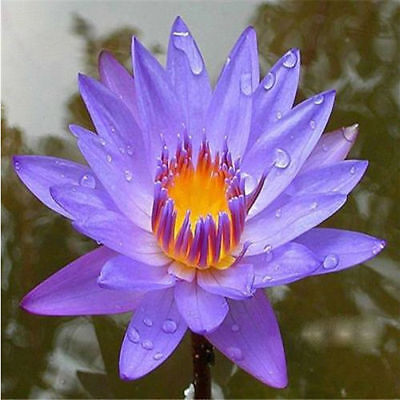 Nymphaea species - Blue Water Lily Scarified Seeds Rare Plants  Exotic