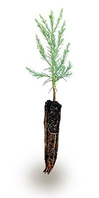 Giant Sequoia Small Tree Plant Live Garden Hardy Enough Best Gift Outdoor Yard