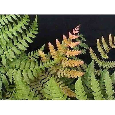 Dryopteris erythrosorys - Autumn Fern Pot Plant Rare Exotic