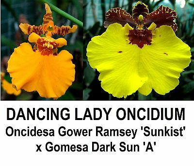 THG - Orchid Oncidesa Gower Ramsey x Dark Sun MOUNTED (Oncidium)