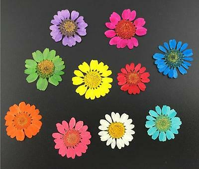 100pcs Dried Daisy Flower Plant Herbarium Alubm Phone Case Jewelry Making Craft
