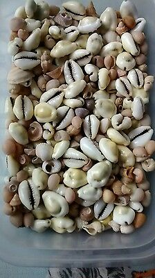 Quantity of small shells for crafts etc