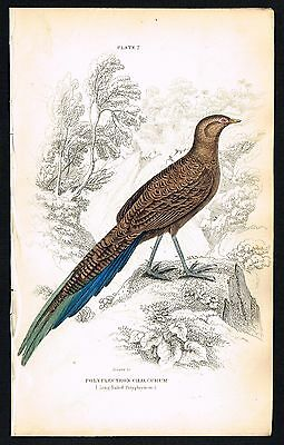 1843 Antique Print - Bronze-Tailed Peacock Pheasant, Indonesia, Hand-Colored