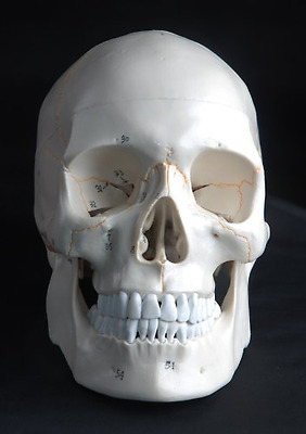 Anatomical Human Skull Model, 3-part, Numbered, with Sutures, Life Size