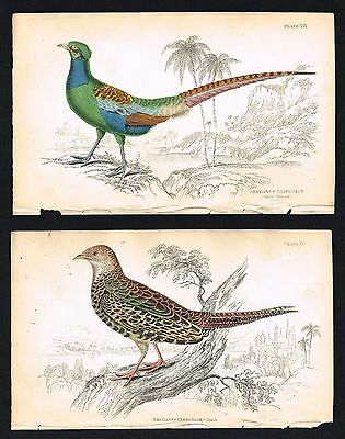 1843 Green Pheasant of Japan, Male & Female Birds, Two Hand-Colored Engravings