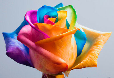 LOCAL AUSSIE STOCK - Rainbow Rose, Flower Seeds ~10x FREE SHIPPING