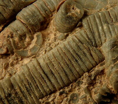 SILURIAN CRINOIDS Scyphocrinites sp. WELL PRESERVED ! Morocco INTERESTING /kt932
