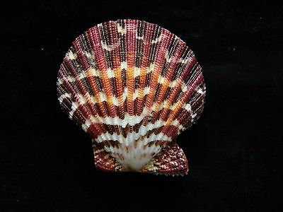 Sea Shells Pecten Palliun / Painted Scallop 54mm ID#3499B
